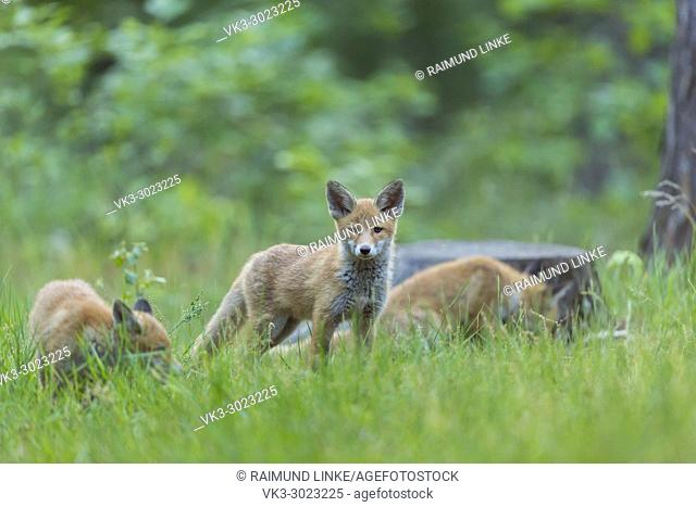Red Fox, vulpes vulpes, Young Foxes