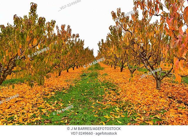 Peach field (Prunus persica) in autumn. This photo was taken in Torres de Segre, Lleida province, Catalonia, Spain
