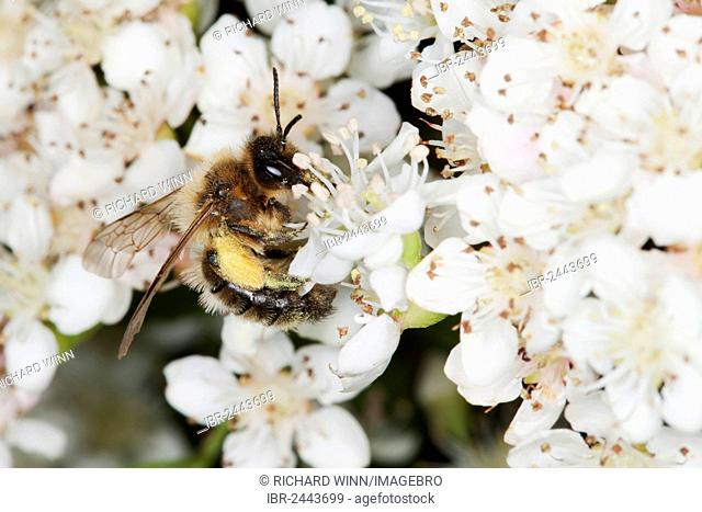 Sand bee (Andrena sp.) collecting nectar from a Pyracantha flower