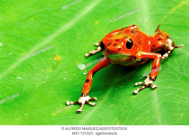 Strawberry Poison Frog (Dendrobates pumilio), Bocas del Toro islands, Rep.of Panamá, Central America. 2005