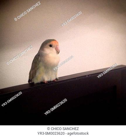 A lovebird stands on a tv in Prado del Rey, Sierra de Cadiz, Andalusia, Spain