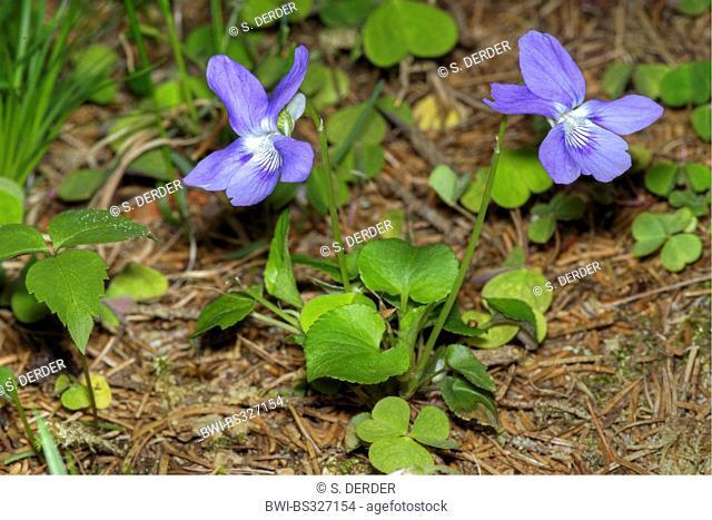 English violet, Sweet violet (Viola odorata), blooming, Italy, South Tyrol, Naturpark Fanes