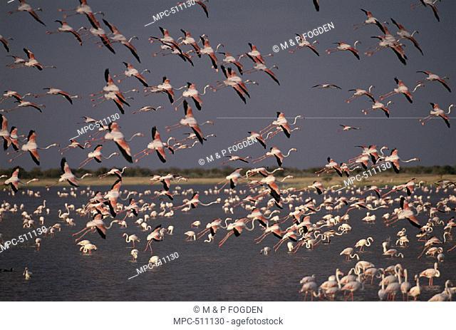 Greater Flamingoes, (Phoenicopterus ruber), Namutoni, Etosha National Park, Namibia
