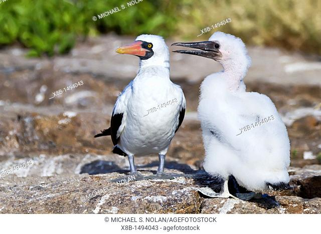 Adult Nazca booby Sula grantii with downy chick in the Galapagos Island Archipelago, Ecuador  MORE INFO Nazca boobies are known for practicing obligate...