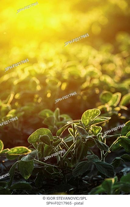 Cultivated soy field