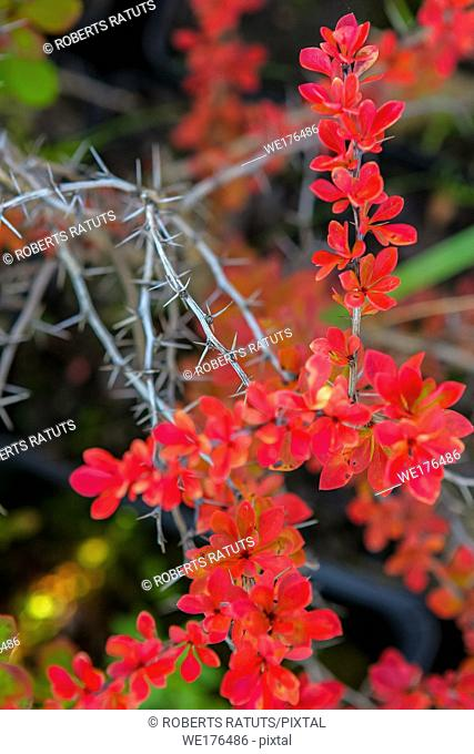 Branch with red leaves and thorns in autumn