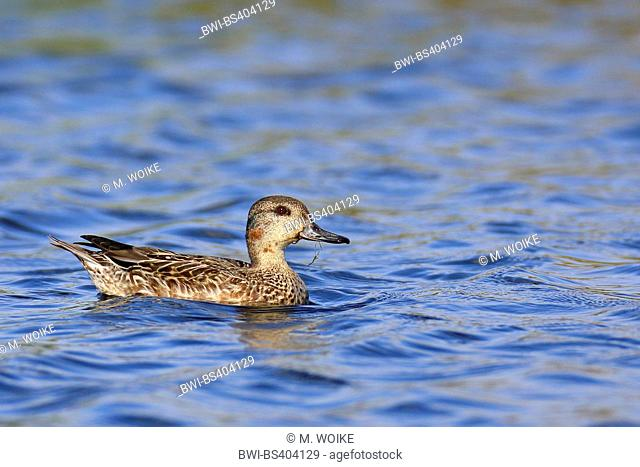 green-winged teal (Anas crecca), swimming, basic plumage, Canary Islands, Fuerteventura