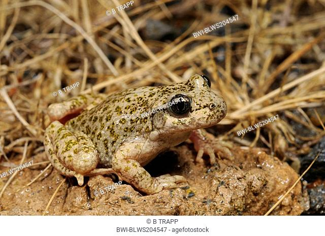 South Iberian midwife toad Alytes dickhilleni, on stone, Spain, Murcia