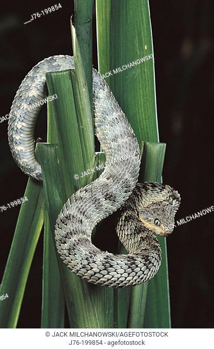 Green Bush Viper (Atheris squamiger)