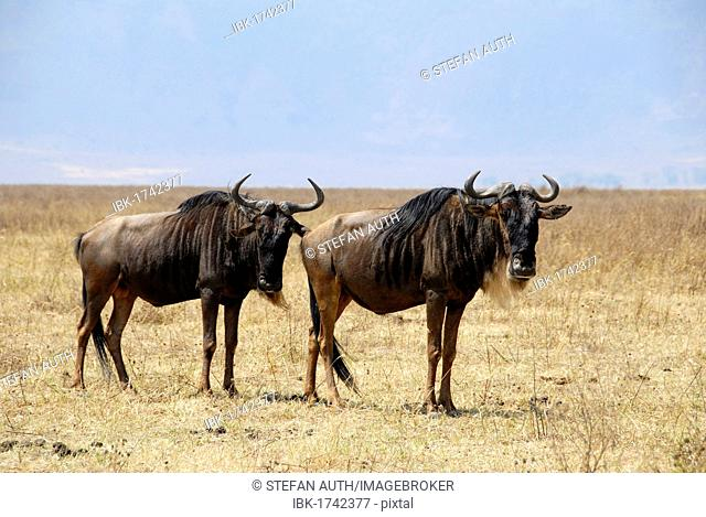 Two Blue Wildebeests (Connochaetes taurinus) standing in the dry grasslands, Ngorongoro Crater, Serengeti National Park, Tanzania, Africa