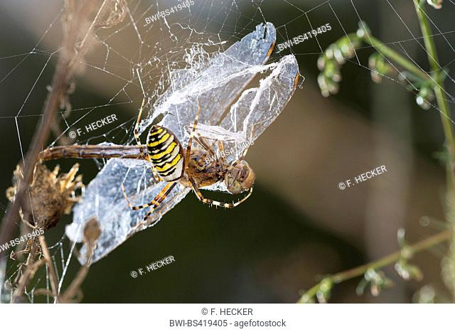 Black-and-yellow argiope, Black-and-yellow garden spider (Argiope bruennichi), spider i its web with caught dragonfly, Germany