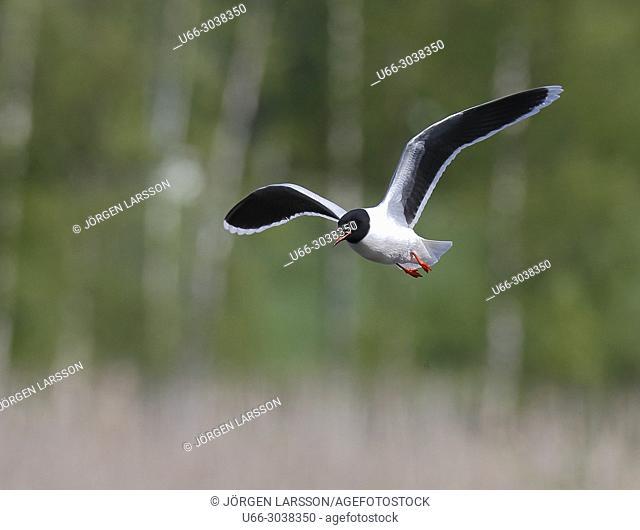 Little Gull. Boden, Vasterbotten, Sweden