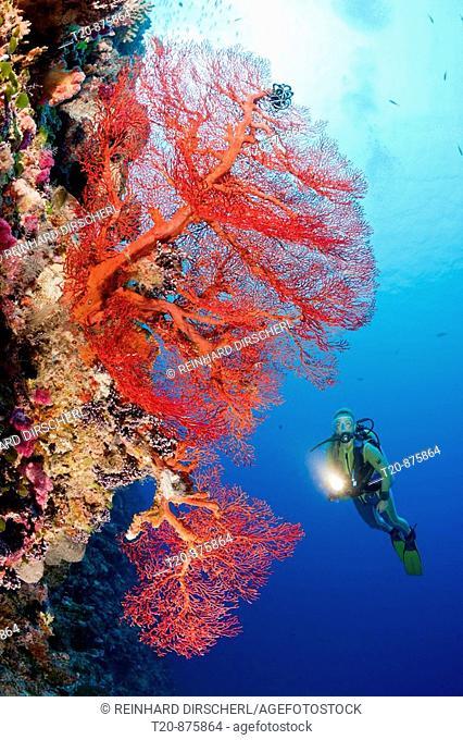Diver and Sea Fan, Melithaea, Peleliu Wall, Micronesia, Palau