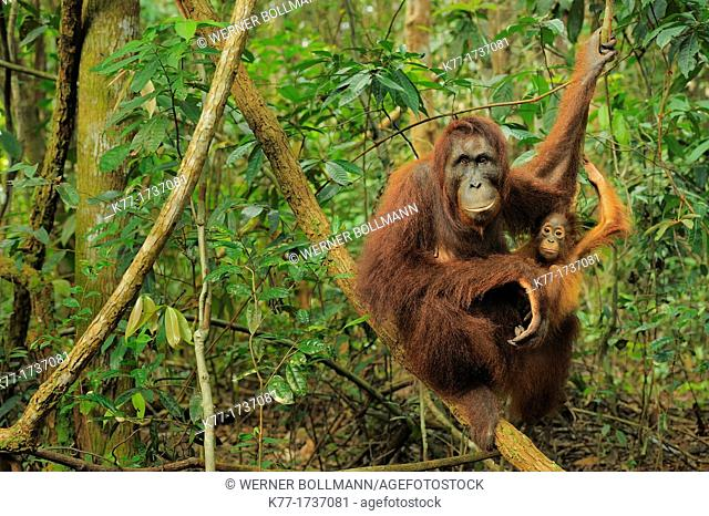 Orang Utan Pongo pygmaeus, mother and baby, Tanjung Puting National Park, Province Kalimantan, Borneo, Indonesia
