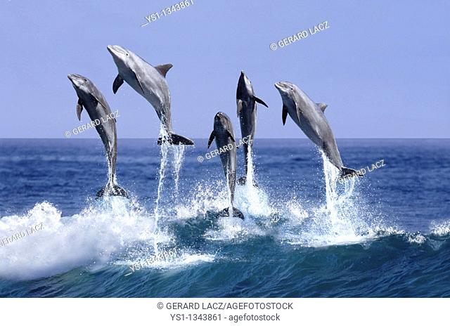 BOTTLENOSE DOLPHIN tursiops truncatus, GROUP LEAPING OUT OF THE WATER, HONDURAS