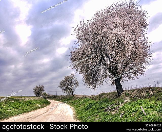 Almond trees at The Wolf road in Pinto. Madrid. Spain. Europe