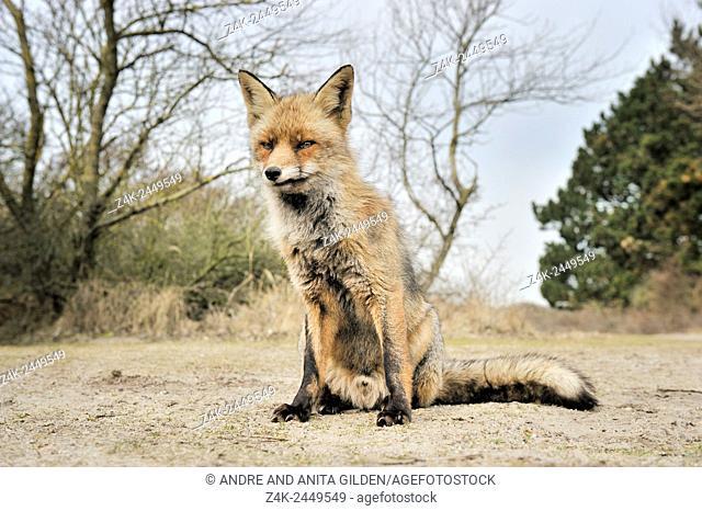 Red Fox (Vulpes vulpes) sitting close up looking at camera, Netherlands