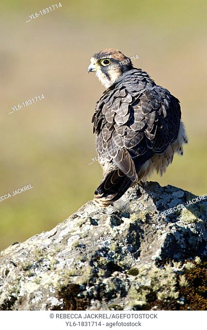 Lanner Falcon perched on a rock