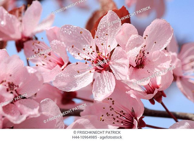 Tree, tree blossom, blossom, flourish, flowerage, detail, spring, garden plant, cherry, bud, buds, macro, close-up, plant, Switzerland, flowering cherry