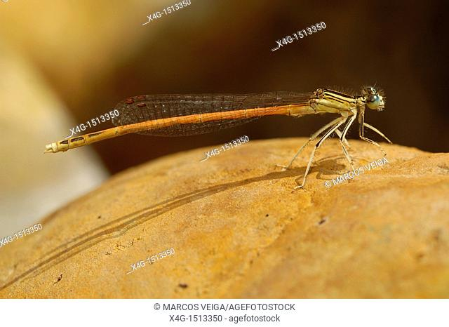 Male Orange Featherleg Platycnemis acutipennis
