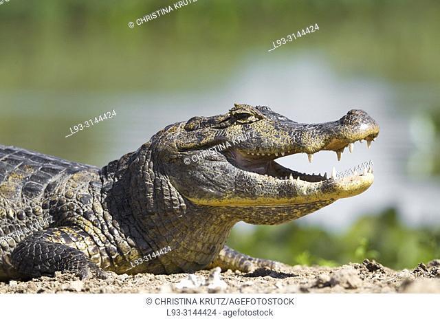 Yacare Caiman, Caiman yacare, Pantanal, Mato Grosso, Brazil