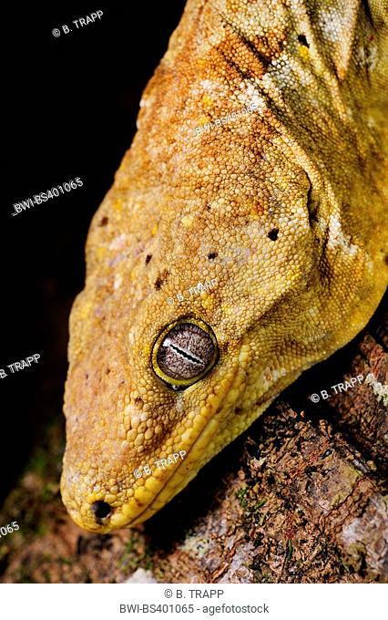 New Caledonian giant gecko, Leach's giant gecko, New Caledonia Giant Gecko  (Rhacodactylus leachianus henkeli, Rhacodactylus henkeli), portrait, New Caledonia