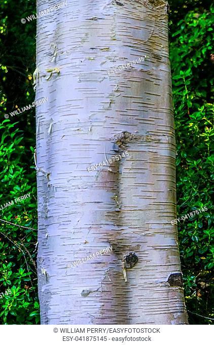 Himalayan White Bark Birch Tree Van Dusen Garden Vancouver British Columbia Canada