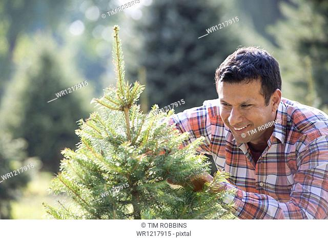A man pruning an organically grown Christmas tree