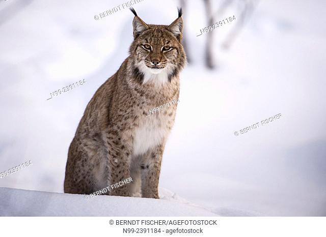 Lynx (Lynx lynx) sitting in snow, National Park Bayerischer Wald, Bavaria, Germany