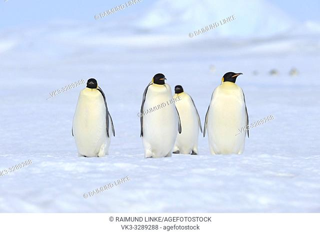 Emperor penguins, Aptenodytes forsteri, Group of Adults, Walking, Snow Hill Island, Antartic Peninsula, Antarctica