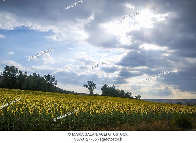 Sunflowers and cloudy sky. Horna, Guadalajara province, Castilla La Mancha, Spain