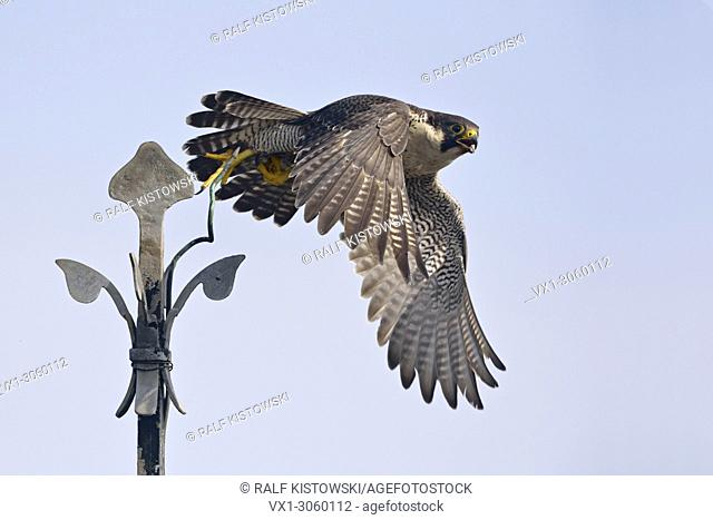 Peregrine Falcon / Duck Hawk (Falco peregrinus) in typical situation takes off from a church cross, wildlife, Germany, Europe