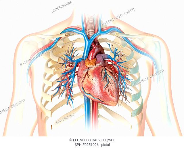 Human heart and chest, illustration