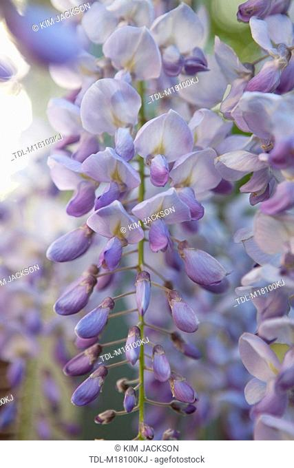 Wisteria flowers hanging on a vine
