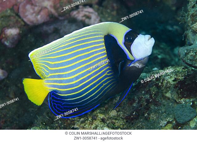 Emperor Angelfish (Pomacanthus imperator, Pomacanthidae family), Pyramids dive site, Amed, east Bali, Indonesia
