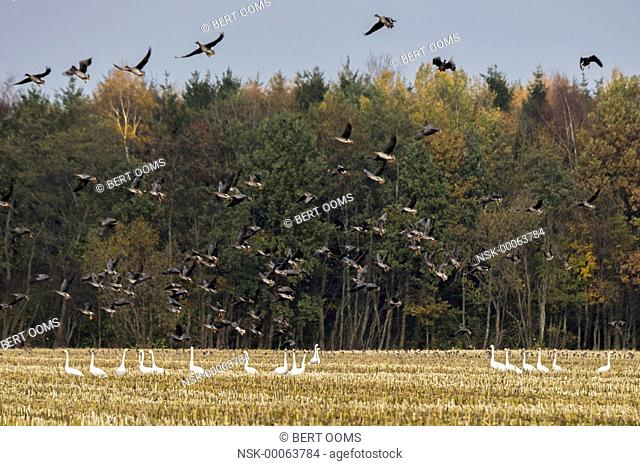 Bewick's Swan (Cygnus bewickii) and Bean Goose (Anser fabalis) feeding in corn stubble field with a large flock of geese taking off and flying away, Germany