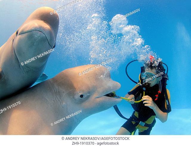 diver and Beluga, White whale Delphinapterus leucas, Delphinarium, Odessa, Ukraine