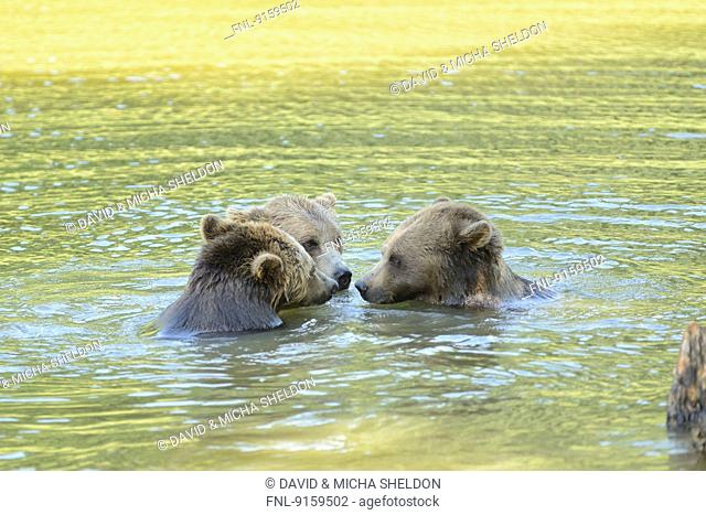 Three brown bears playing in a lake
