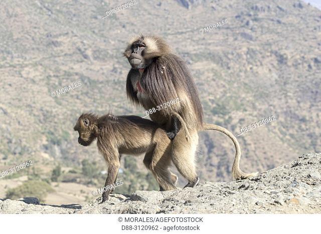 Africa, Ethiopia, Rift Valley, Debre Libanos, Gelada or Gelada baboon (Theropithecus gelada), dominant male coupling with a female
