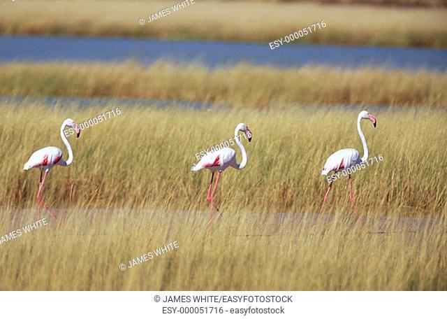 Greater Flamingo (Phoenicopterus ruber). Etosha National Park, Namibia