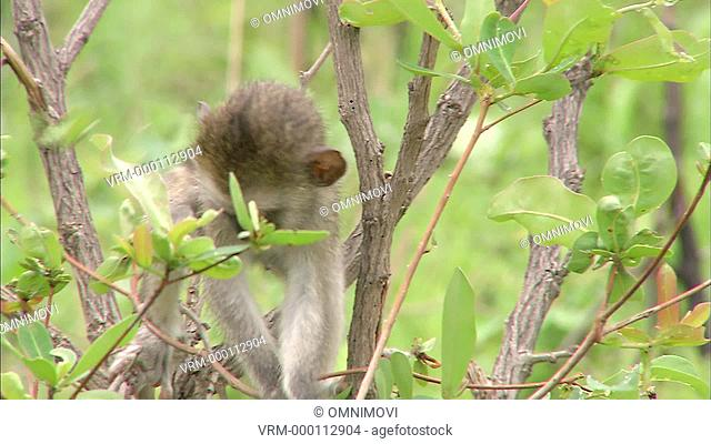 WS Baby Vervet Monkey / Vervet Monkey Foundation, Tzaneen, South Africa