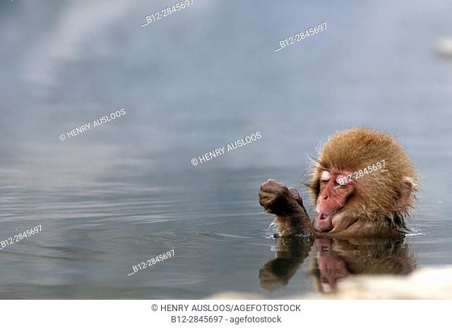 Japanese macaque or snow japanese monkey in onsen (Macaca fuscata), Japan