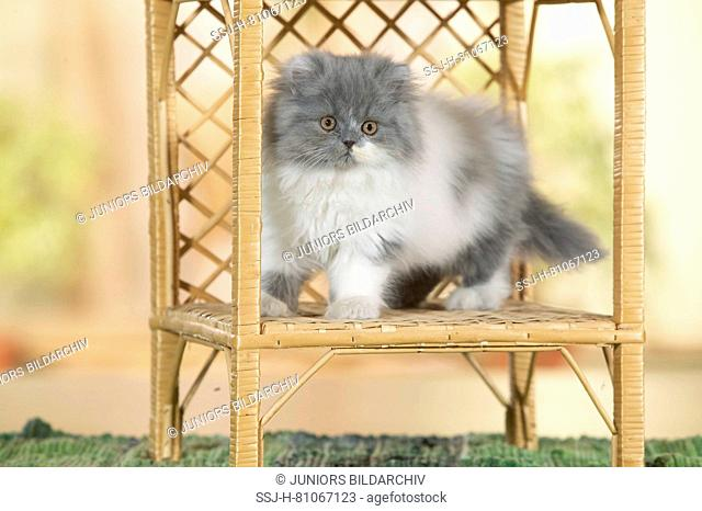 Persian Cat. Kitten sitting in a book-rack. Germany