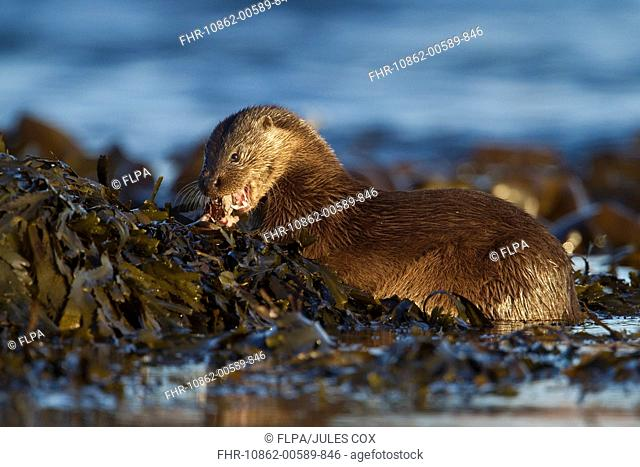 European Otter Lutra lutra adult female, feeding on fish, resting on seaweed, Isle of Mull, Inner Hebrides, Scotland, december