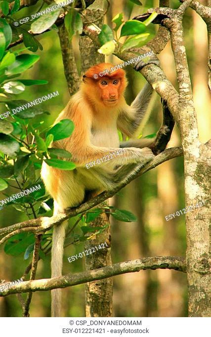 Young Proboscis monkey sitting on a tree, Borneo, Malaysia
