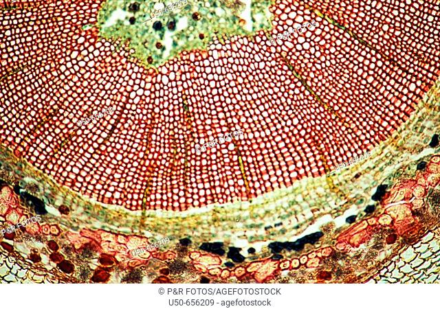 Ginkgo stem (cross section), Gymnosperm, xylem, phloem, pith, druses, 100 X  optical microscope, photomicrography , plant anatomy , botany