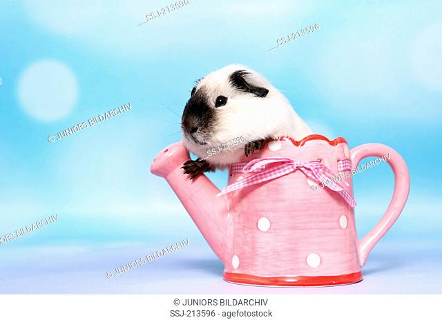 Smooth-haired Guinea Pig. Adult in a small pink watering can with white polka dots. Studio picture against a blue background. Germany