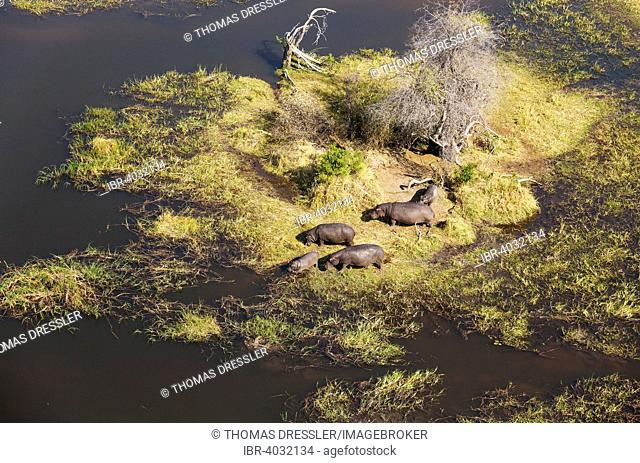 Hippopotamuses (Hippopotamus amphibius), small breeding family, grazing amd lazing at an island in a freshwater marsh, aerial view, Okavango Delta