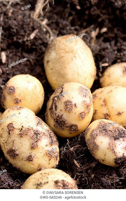 POTATOES - COMMON SCAB IS CAUSED BY STREPTOMYCES SCABIES