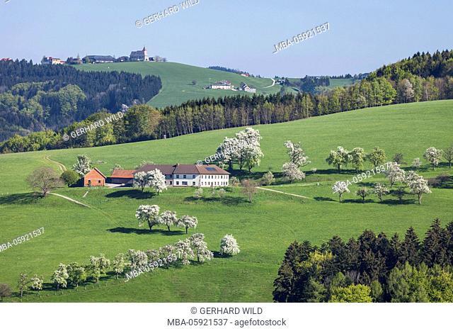 blossoming must pear trees, Mostviertel, Lower Austria, Austria, Europe
